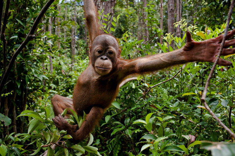 Orangutan in Central Kalimantan, Indonesia © Ulet Ifansasti / Greenpeace