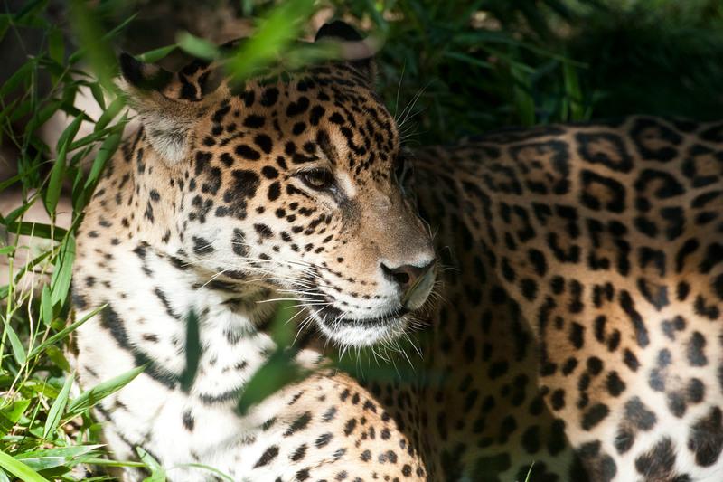 Jaguar in Calilegua National Park, Argentina © Martin Katz / Greenpeace