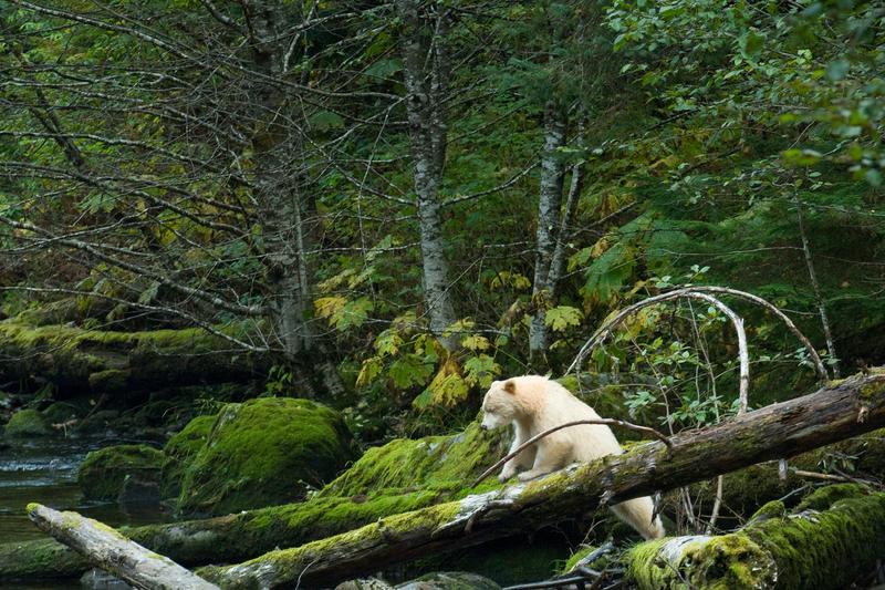 Spirit Bear in Great Bear Rainforest © Andrew Wright / www.cold-coast.com