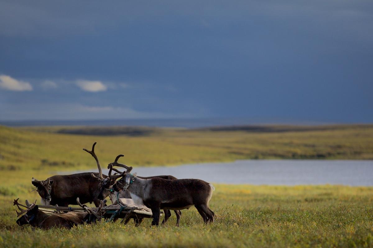 Reindeer in the Yamal Peninsula. © Stephen Nugent / Greenpeace
