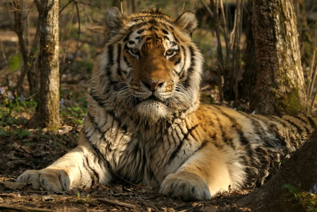 Siberian Tiger in Russia
