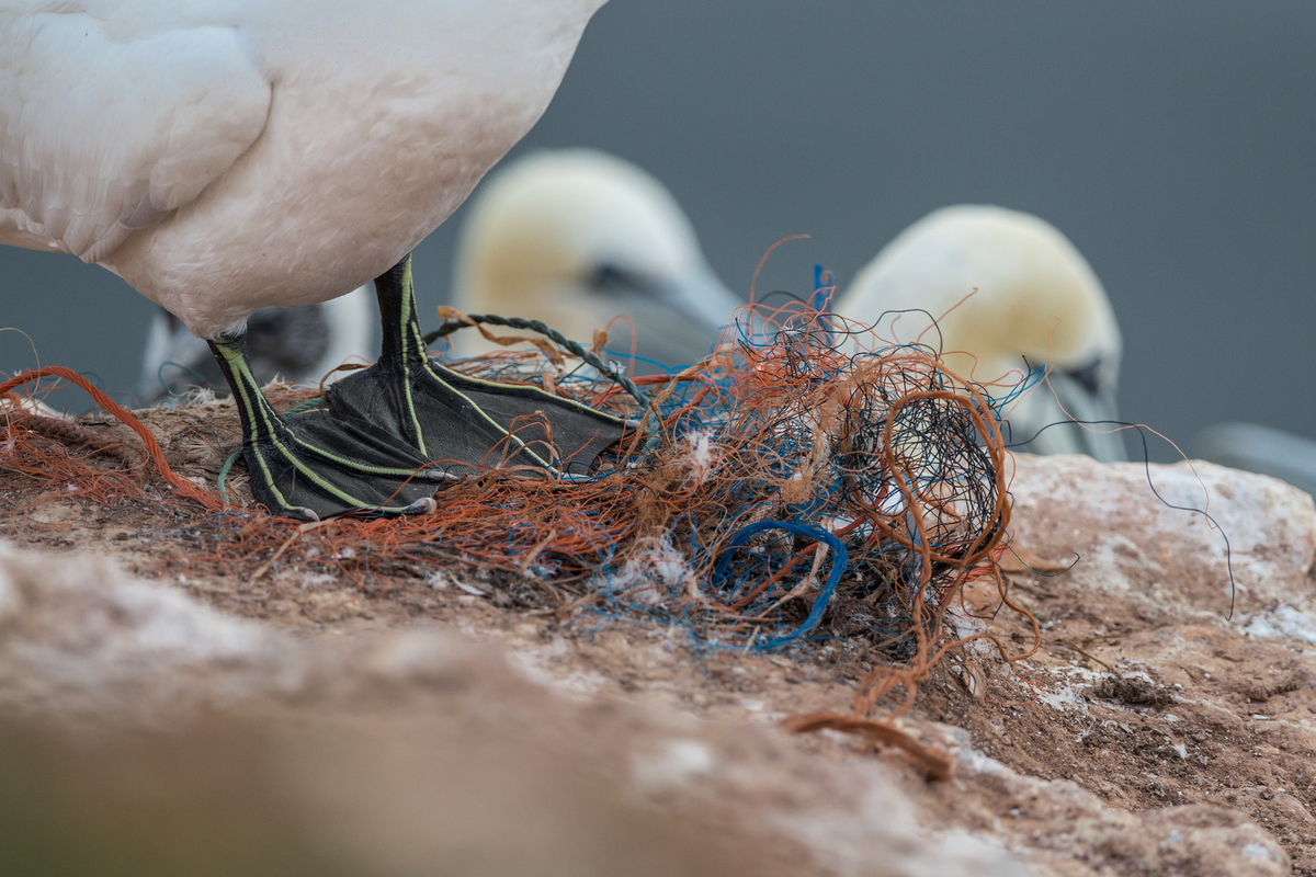 Gannets on Heligoland with Plastic Waste © Robert Marc Lehmann / Greenpeace