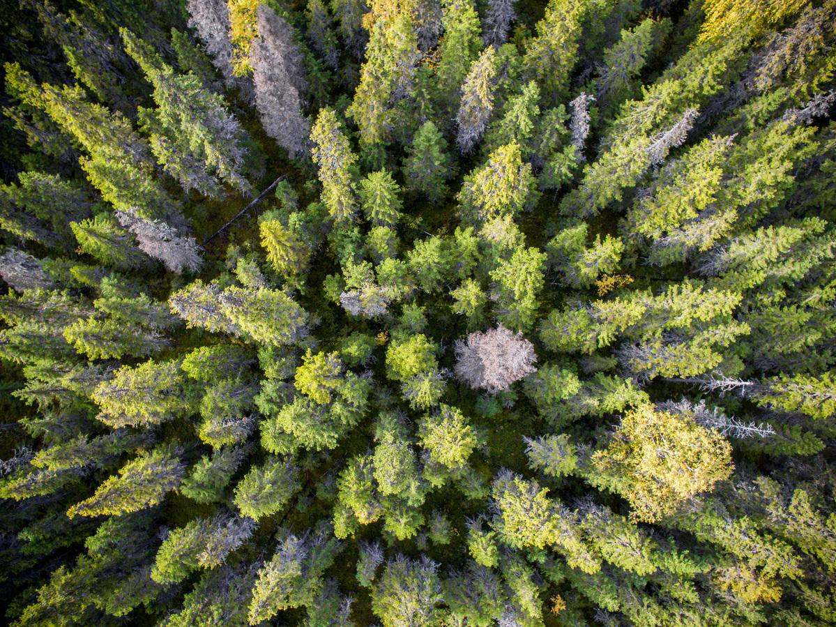 Virgin Forest Area in Arkhangelsk Region in Russia © Greenpeace