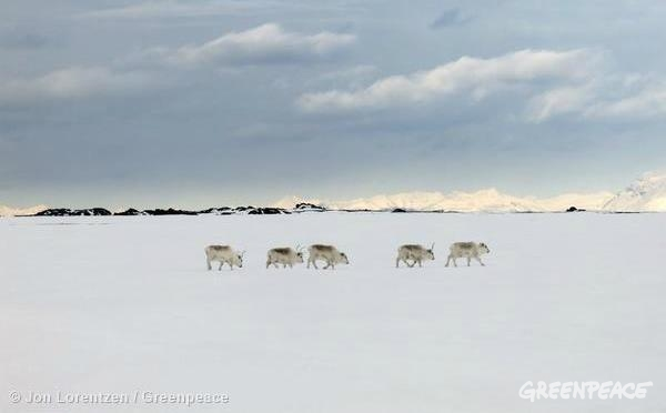 Svalbard reindeer (Rangifer tarandus platyrhynchus) graze in wintry conditions in Adventdalen, Svalbard. 05/09/2014 © Jon Lorentzen / Greenpeace