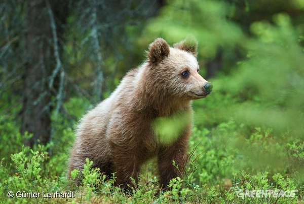 Brown Bear in Sweden. © Günter Lenhardt