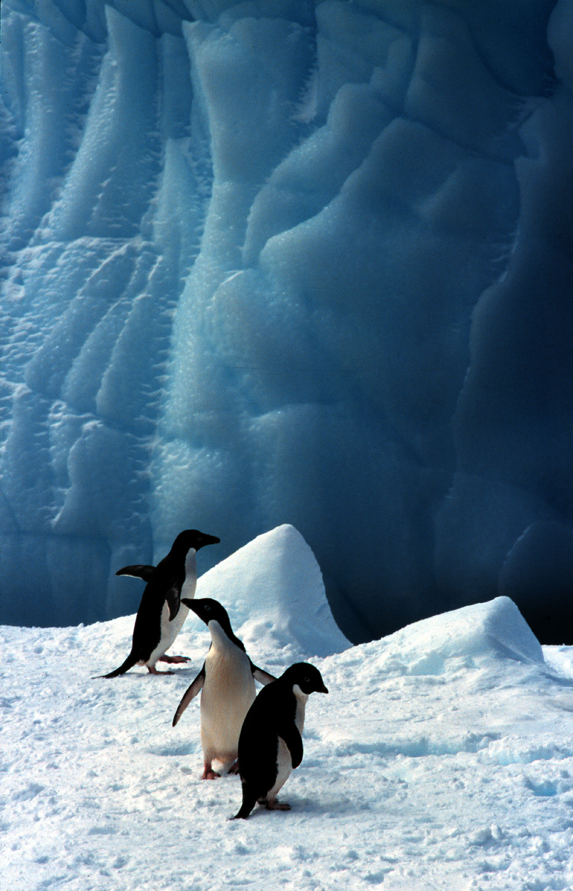 Adelie Penguins on Ice in Antarctica © Greenpeace / Roger Grace