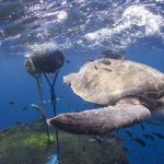 Turtle and FAD in East Pacific Ocean © Alex Hofford / Greenpeace