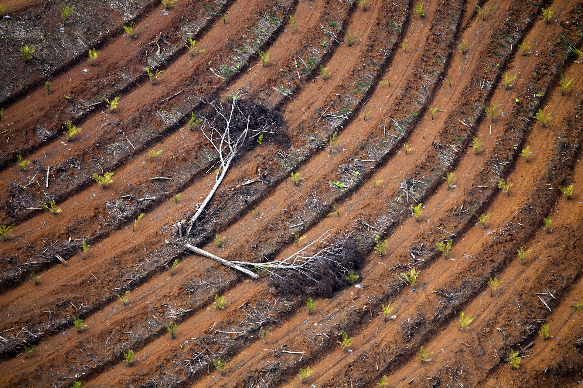 Oil Palm Plantation in Borneo © Daniel Beltrá / Greenpeace