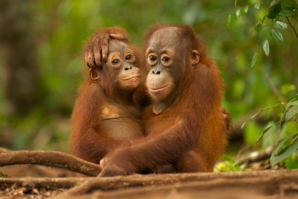 Nyaru Menteng Orang Utan Project in Kalimantan © Markus Mauthe / Greenpeace