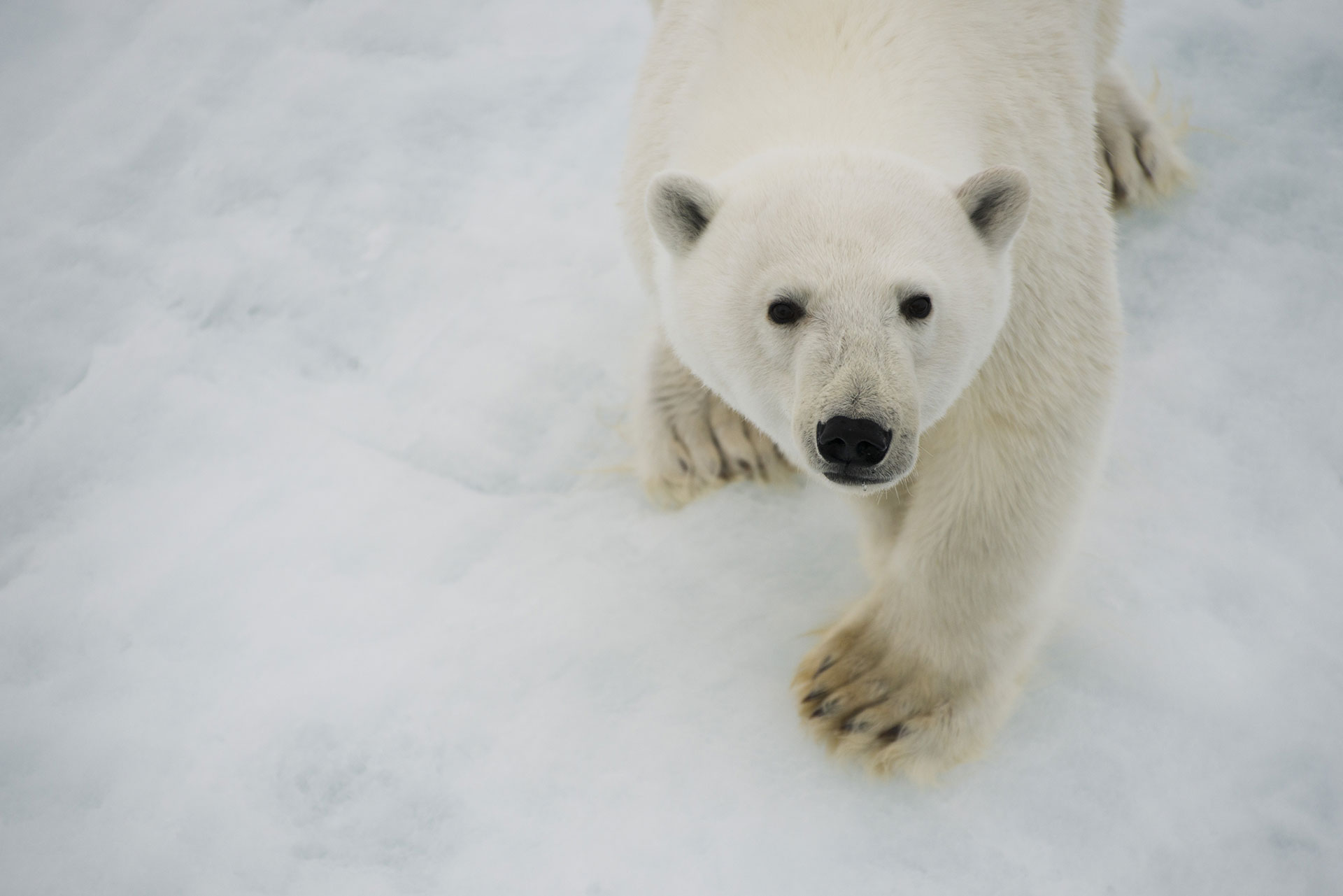 Polar Bear in the Arctic. © Daniel Beltrá / Greenpeace