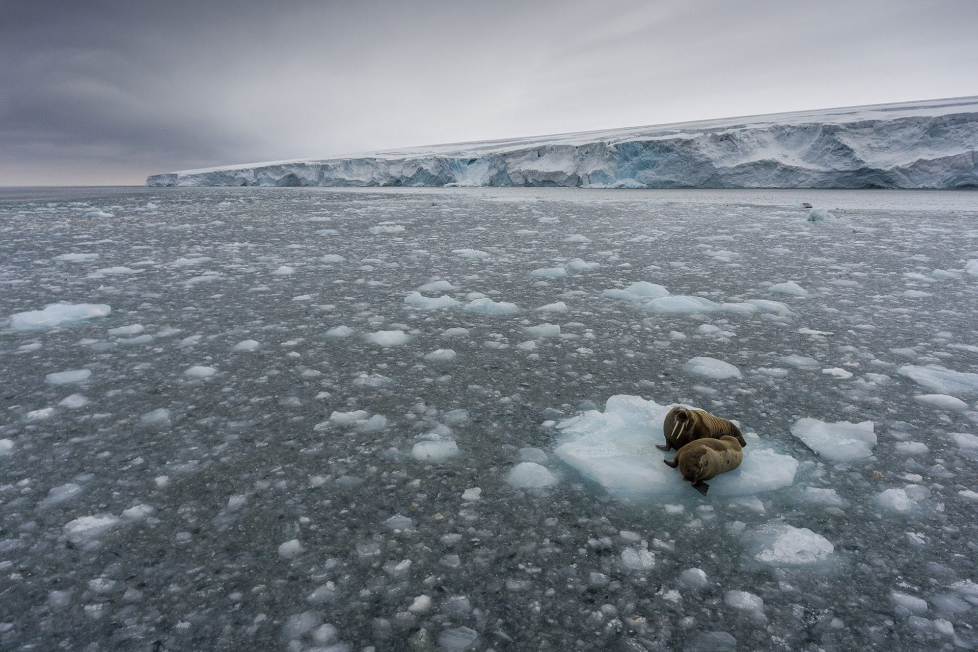 Walruses on ice floe at Kvitøya in Svalbard. © Christian Åslund / Greenpeace