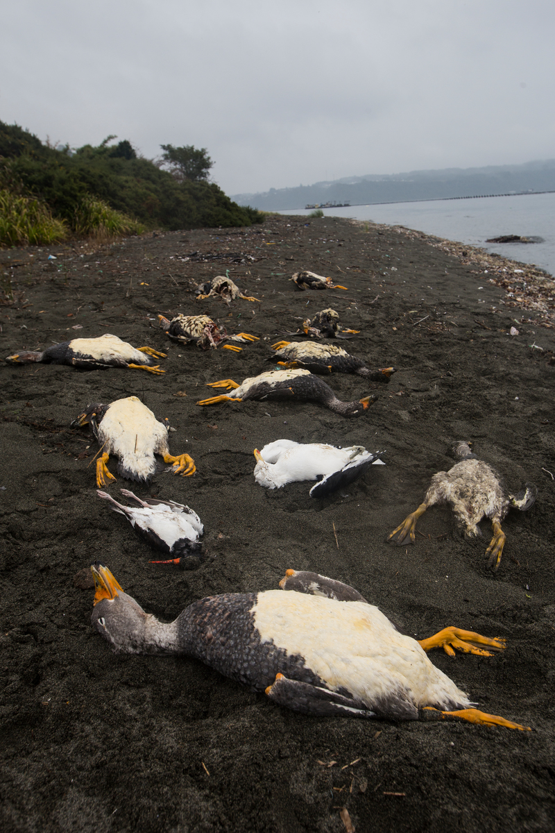 Environmental Crisis in Chiloé Island in Chile © Alejandro Olivares / Greenpeace