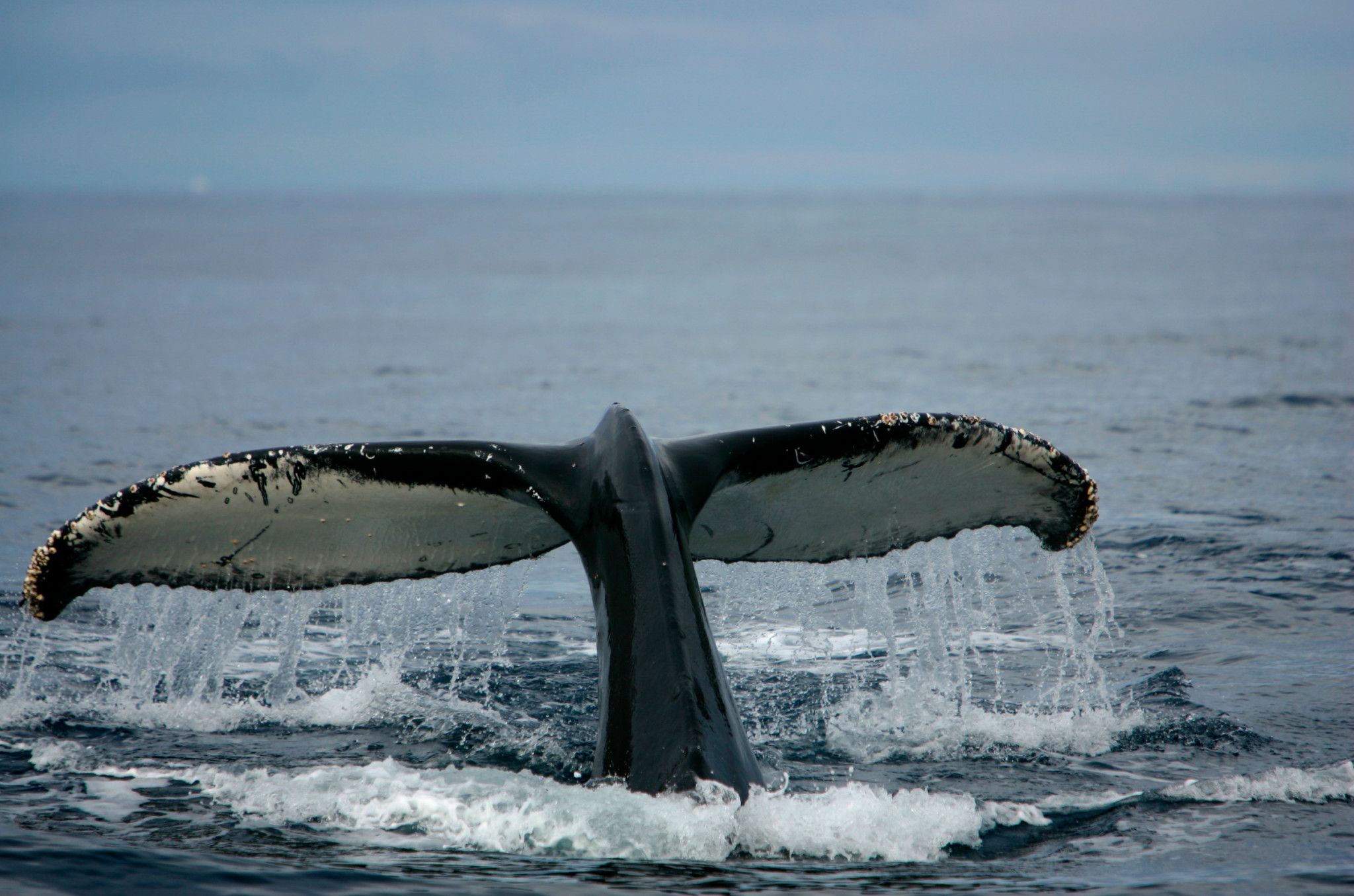 Humpback Whales in the Southern Ocean. © Greenpeace / Jiri Rezac