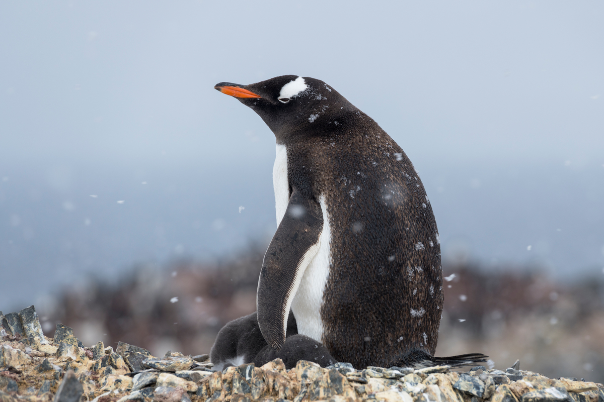 Gentoo penguin in the Antarctic © Christian Åslund / Greenpeace