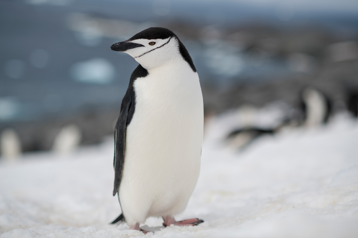 Chinstrap penguin in the Antarctic © Christian Åslund / Greenpeace