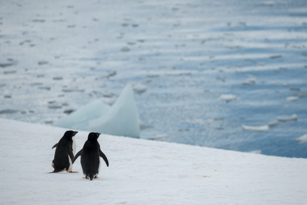 Adélie Penguins in the Antarctic /