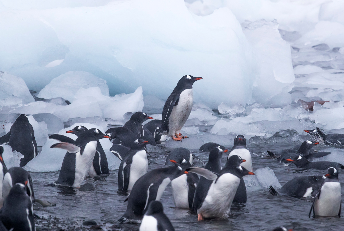 Gentoo Penguins in the Antarctic © Paul Hilton / Greenpeace