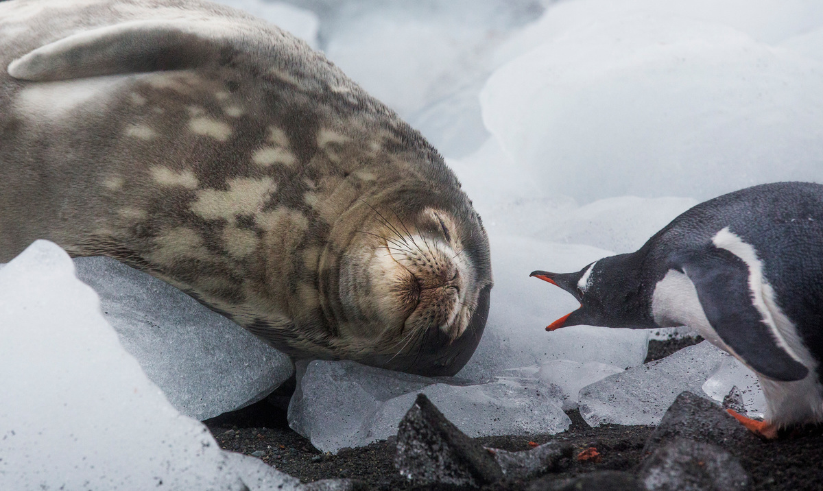A weddell seal sleeps as a gentoo penguin passes by © Paul Hilton / Greenpeace
