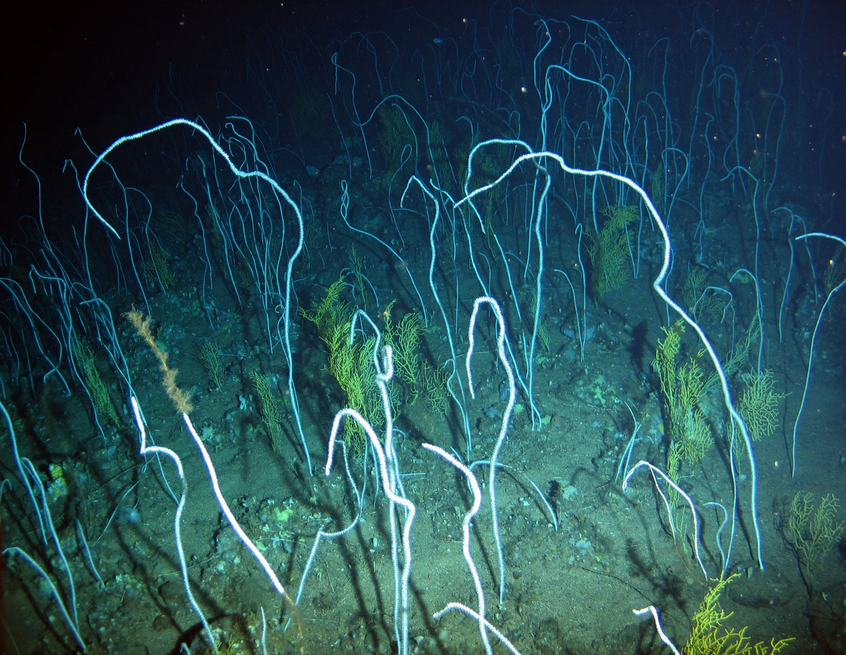 Whip Coral Formations - Azores Deep Sea Life © Greenpeace / Gavin Newman