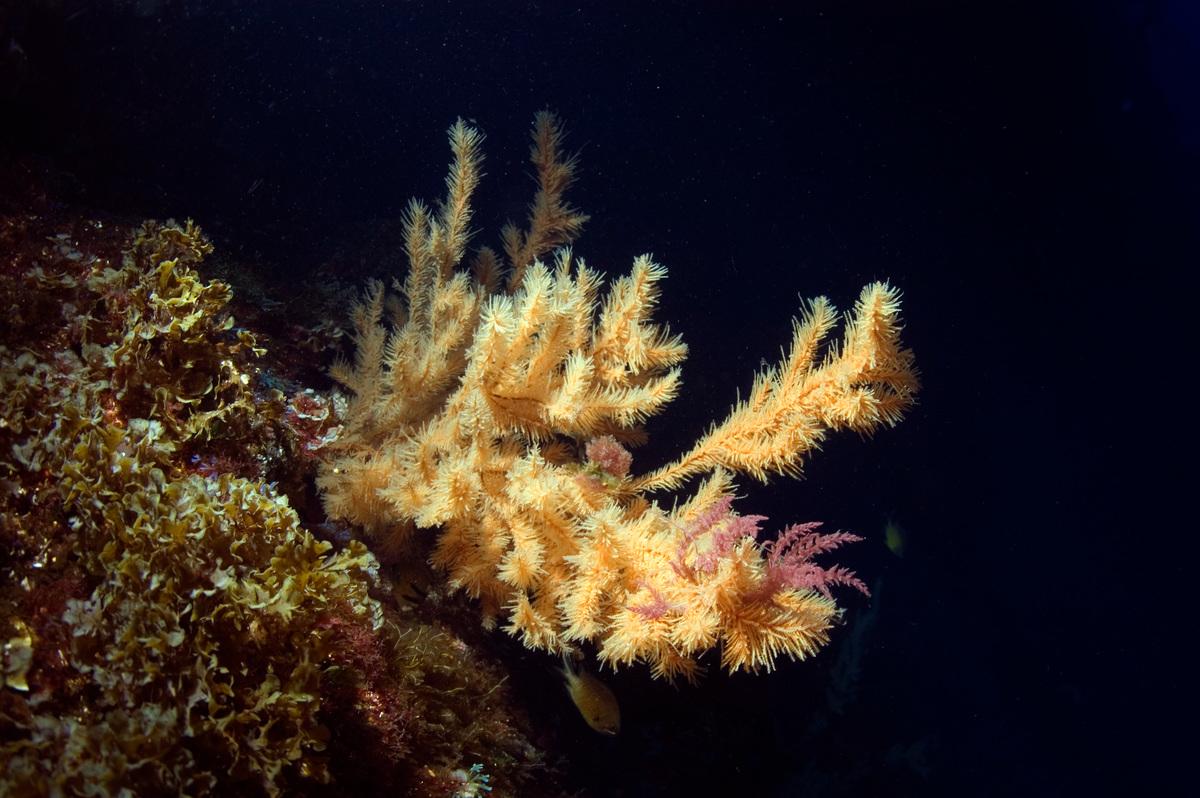 Black coral © Greenpeace / Gavin Newman