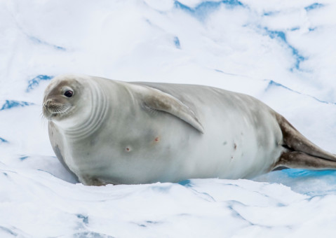 Crabeater Seal in the Antarctic © Paul Hilton / Greenpeace