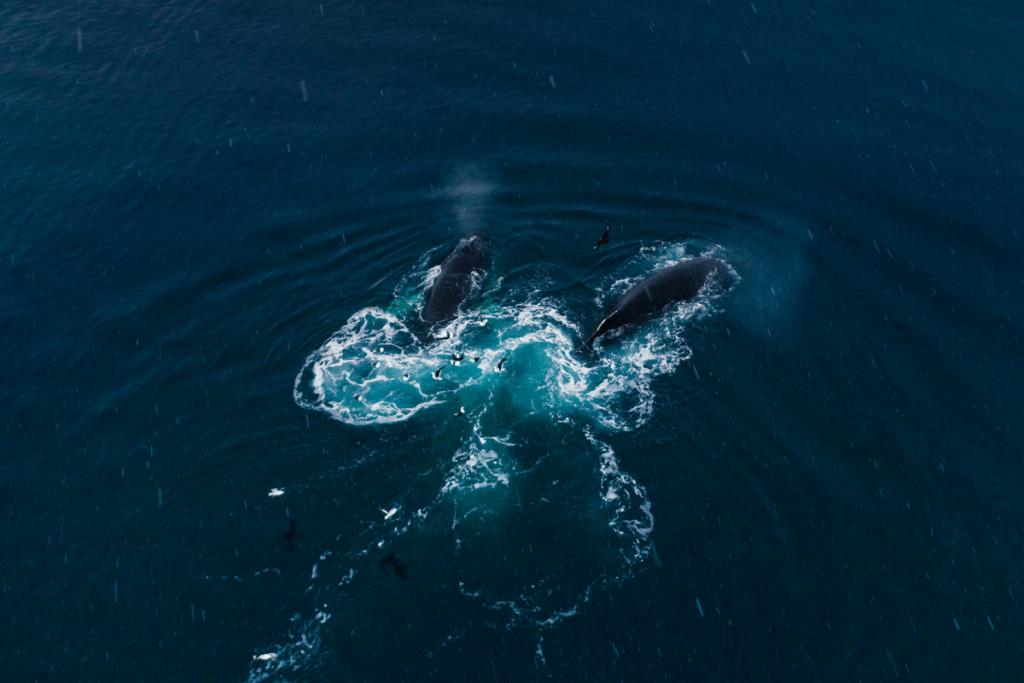 Humpback Whales Feeding on Krill in the Antarctic © Christian Åslund / Greenpeace