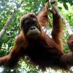 Orphaned orangutan in Sumatra © Greenpeace / Oka Budhi