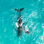 Whales in the Great Australian Bight © Greenpeace / Jaimen Hudson