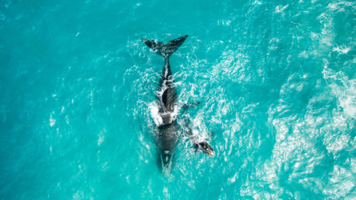 Whales in the Great Australian Bight © Greenpeace / Jaimen Hudson