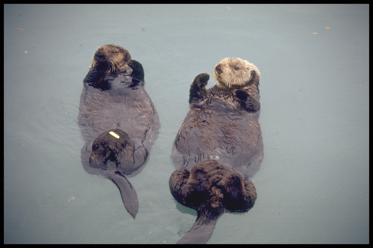 Sea Otter at Rehabilitation Centre © Henk Merjenburgh