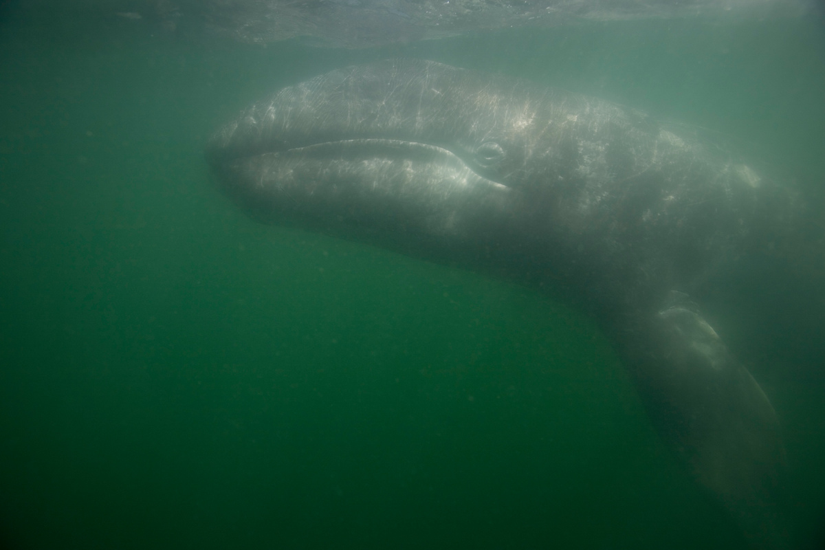 Grey Whale in the San Ignacio Lagoon. © Daniel Beltrá