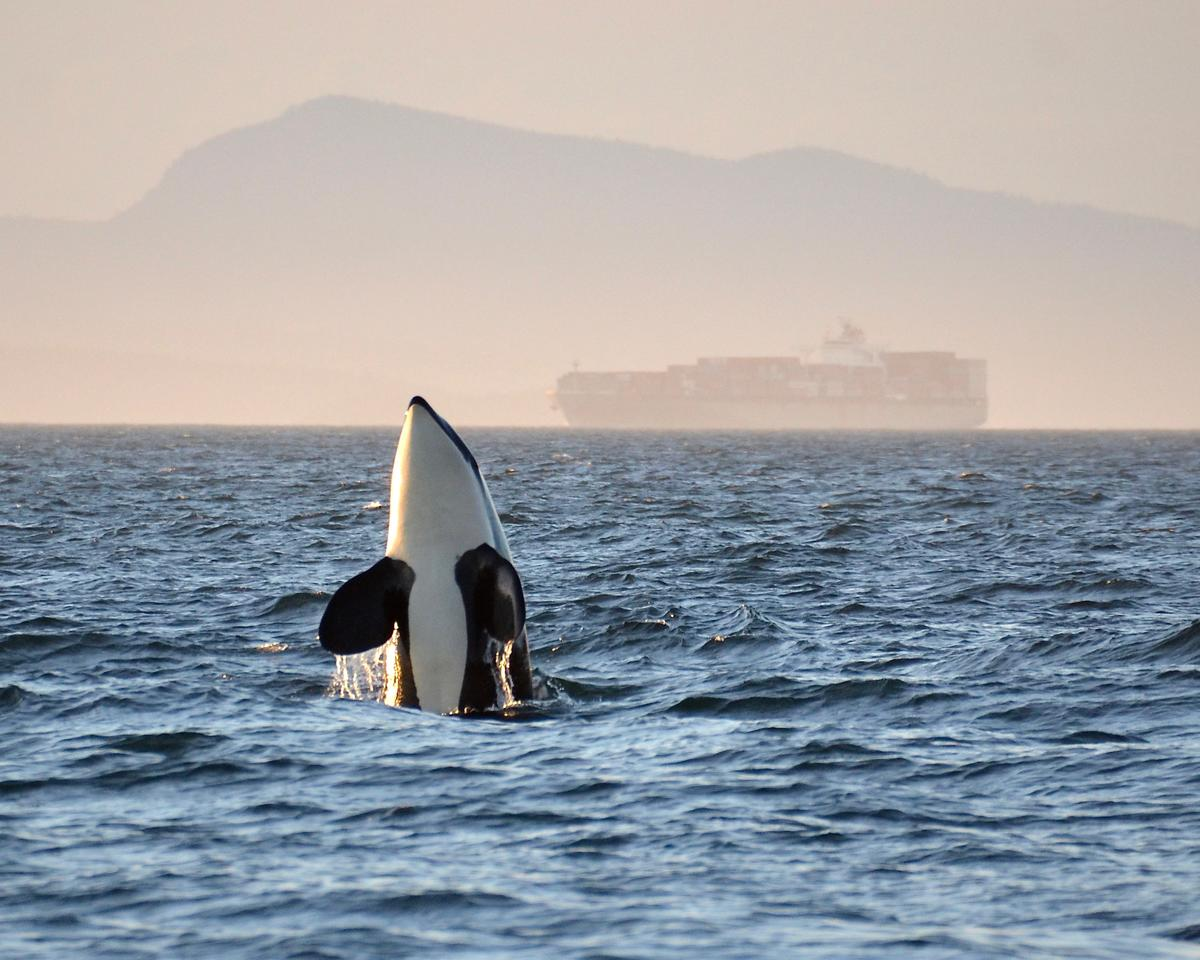 Southern Resident orca with a container ship in the background.
