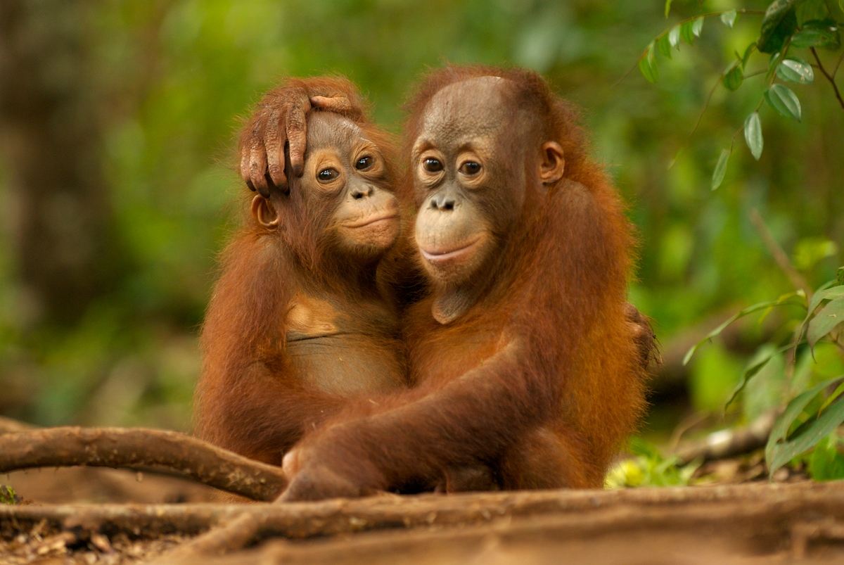 Young Orangutans hugging in Nyaru Menteng Orangutan reintroduction project near Palangka Raya, Central Kalimantan. © Markus Mauthe / Greenpeace