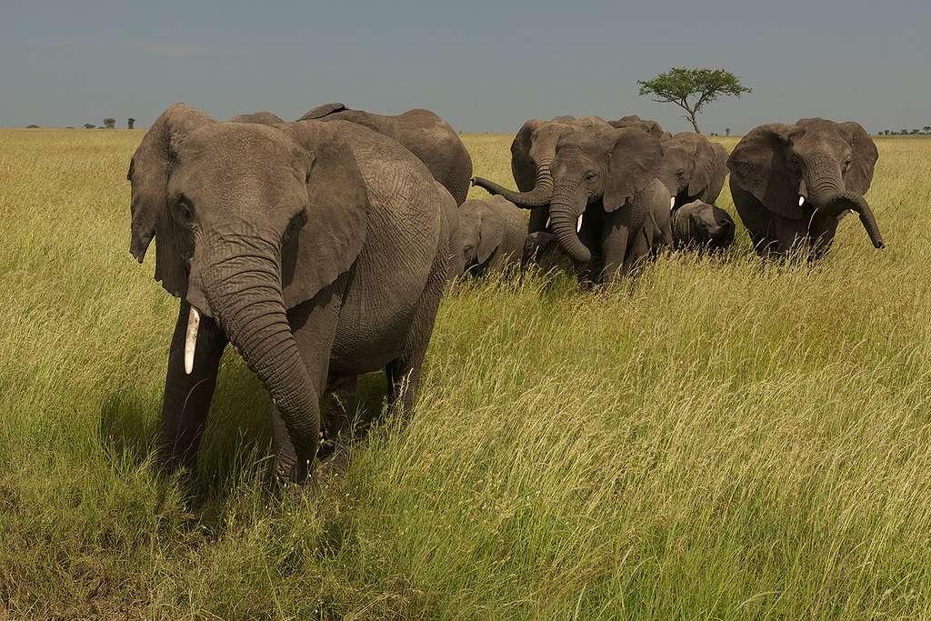 Elephants in the Masai Mara Savanna, Kenya, Africa © Markus Mauthe / Greenpeace