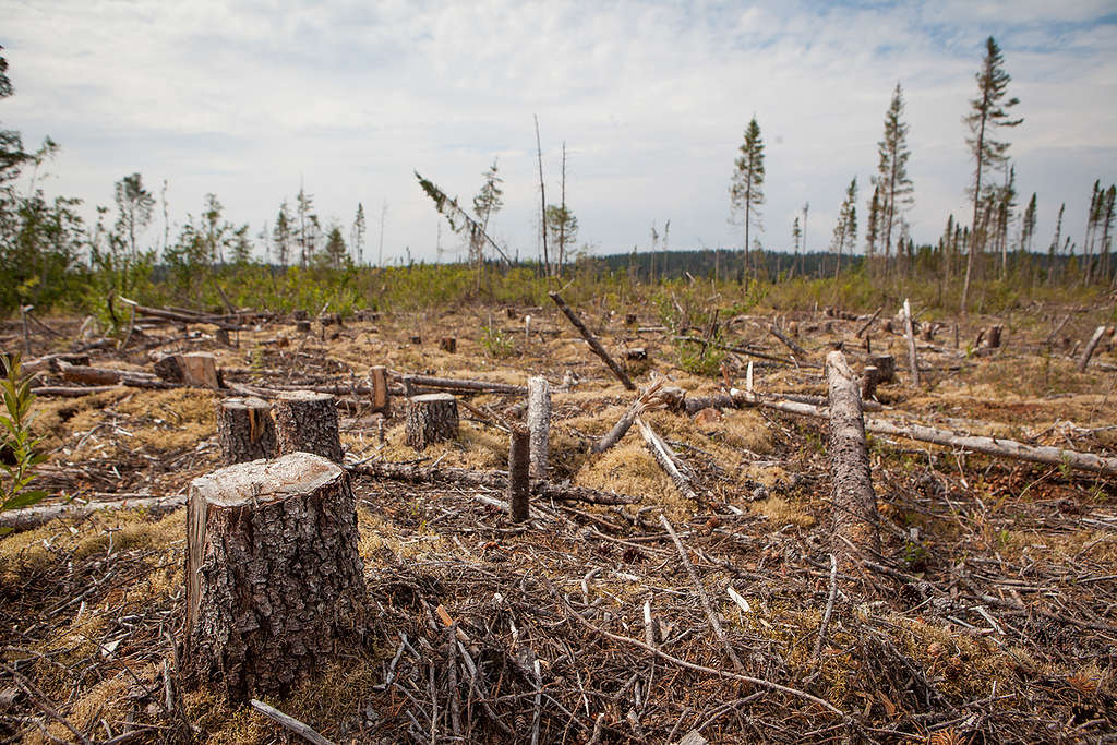 Clearcut in Cree territory, Northern Quebec © Greenpeace