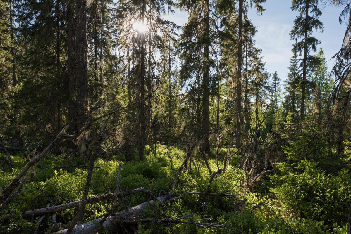 Boreal forest in Sweden © Christian Åslund / Greenpeace