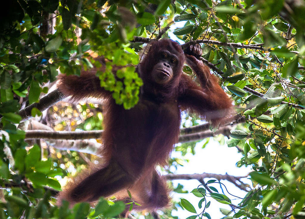 Orangutan at Gunung Palung National Park in West Kalimantan © Jurnasyanto Sukarno / Greenpeace