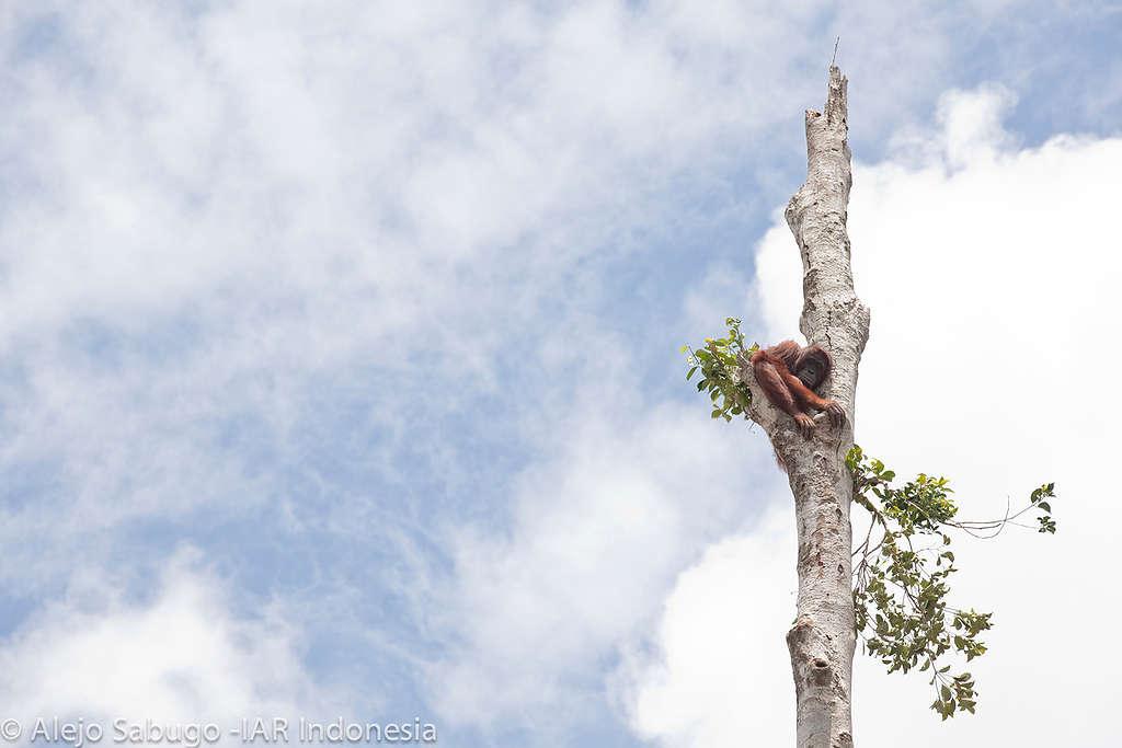 Orangutan in Lone Tree in West Kalimantan © Alejo Sabugo / International Animal Rescue Indonesia