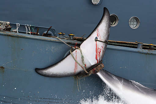 Whale secured alongside the Yushin Maru No.2 catcher ship from the Japanese whaling fleet. (2006) © Greenpeace / Kate Davison