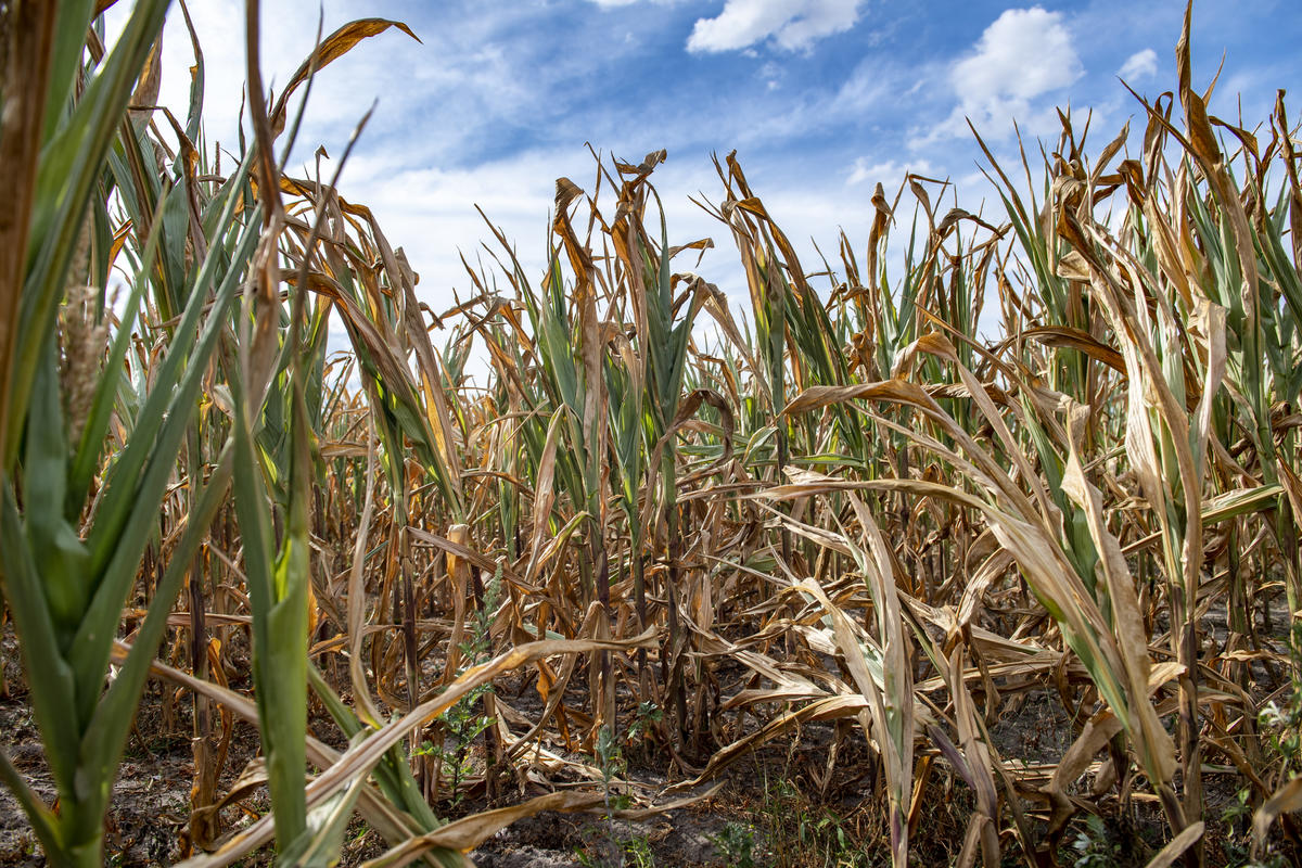 Corn cobs unable to reach maturity stage due to intense heat and prolonged dry spell in Southern Denmark close to the German border near Flensburg. © Bente Stachowske / Greenpeace