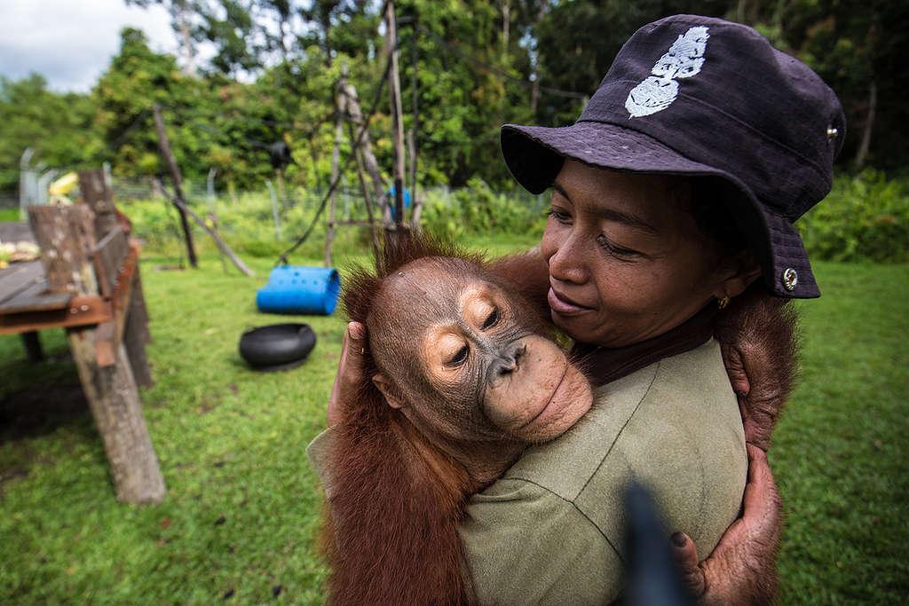 Orangutan at BOS Nyaru Menteng Orangutan Rescue Center in Indonesia © Bjorn Vaugn / BOSF / Greenpeace © Bjorn Vaugn / BOSF / Greenpeace