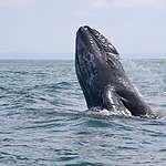 Gray Whale in Mexico © Monika Wieland Shields / Greenpeace