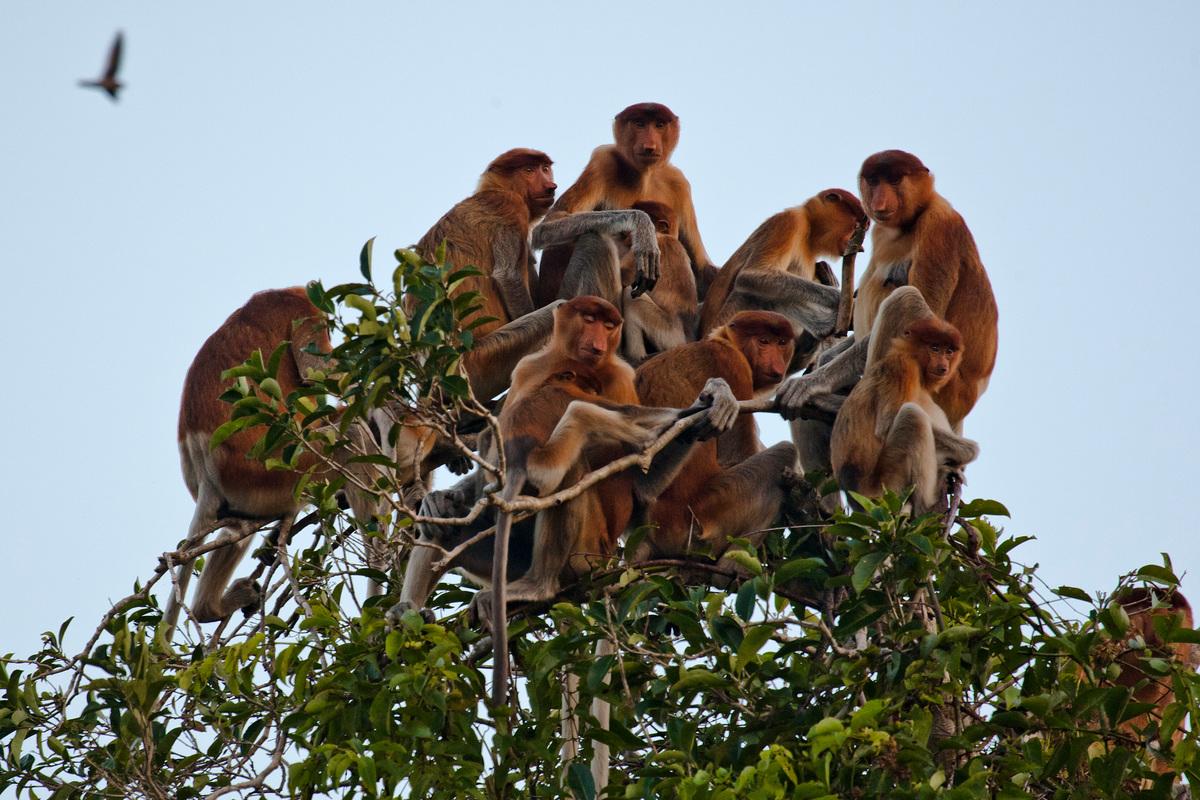 Proboscis monkeys (Nasalis larvatus) © Ulet Ifansasti / Greenpeace