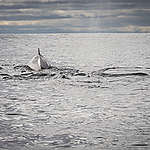 A Fin Whale Surfaces in the Barents Sea. © Nick Cobbing