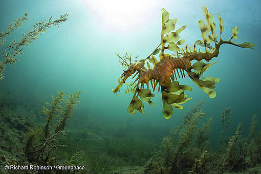 Leafy Seadragon in the Great Australian Bight