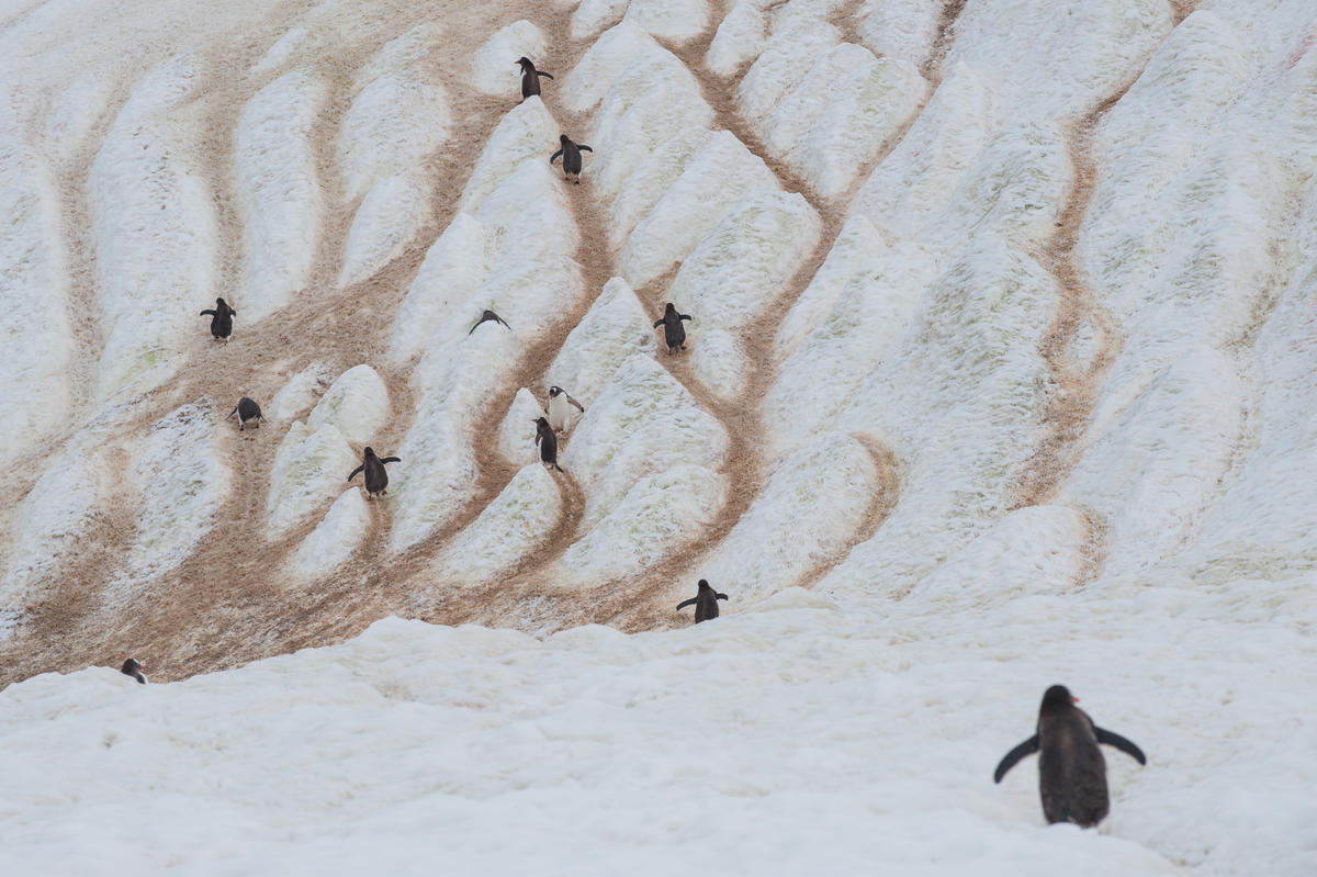Gentoo Penguins on Danco Island. © Esther Horvath