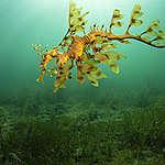 A leafy seadragon in the Great Australian Bight