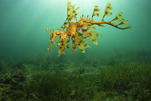 A leafy seadragon in the Great Australian Bight