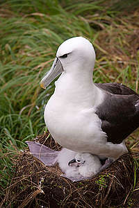 White-capped Albatross and Chick in New Zealand © Greenpeace / Dave Hansford