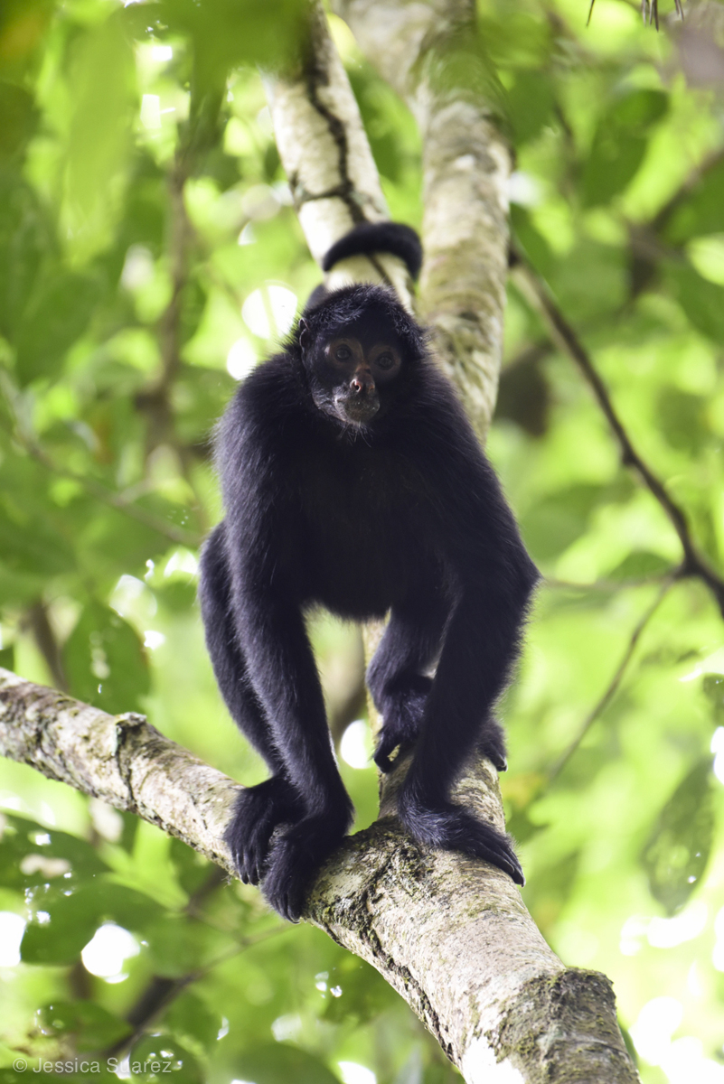 Endangered black-faced spider monkeys (Ateles chamek) are often one of the first species to be extirpated from degraded rainforests in the Amazon. Charismatic and conspicuous, they are a popular bushmeat choice among hunters. © Jessica Suarez